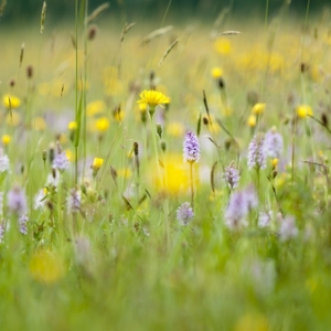 Clattinger Meadow Wildflower Seeds 20g