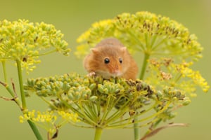 Harvest Mouse Survey