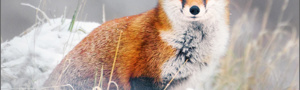 Red Fox Christmas Cards