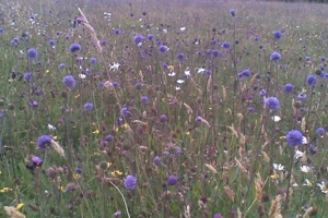 Magnificent Meadows: The Challenges of Meadow Management