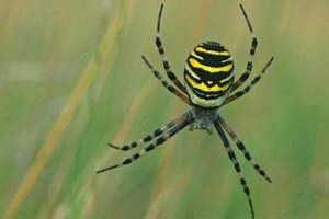 Wasp spider © Steve Day
