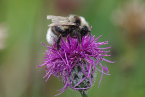 Bumblebee Identification and surveying