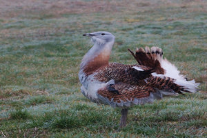 Minibus Trip to the Great Bustard Group