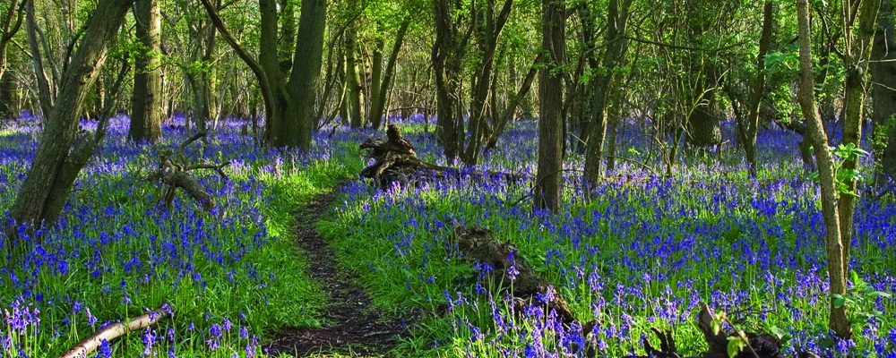 Hagbourne copse  bluebells © David Hall 2004 Hag22
