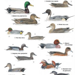 Ducks, geese and swans ID guide