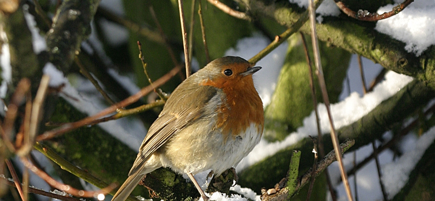 How to make your garden a safe haven for robins this Christmas