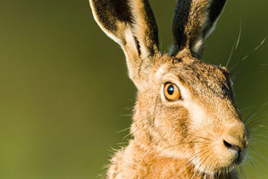 The Life and Times of the Brown Hare