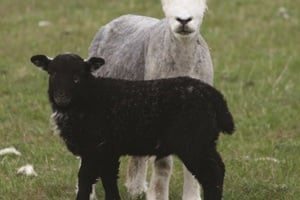 Salisbury Wildlife Watch Group- Newborn Lambs