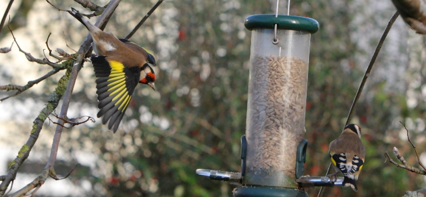Goldfinch diving on to feeder © Graham Coules