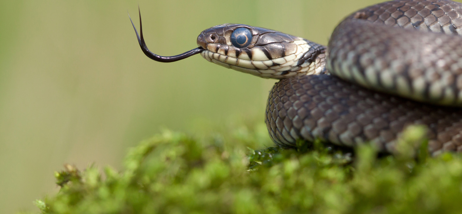 Grass snake © Jamie Hall
