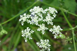 Umbellifer Identification - Lower Moor Farm