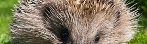 Hedgehog © David Kilbey